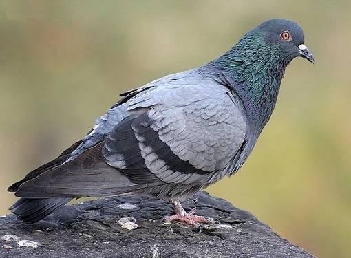 Совет 1: Как отучить голубей садится на подоконник