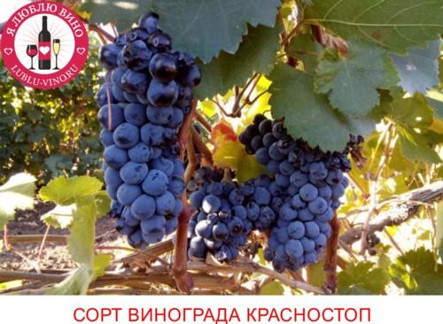 Сорт винограда Красностоп Золотовский или Анапский: описание, фото, история и вина