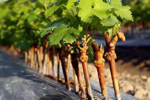 Как посадить виноград осенью черенками: инструкция видео