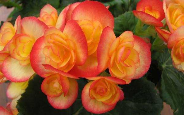 Бегония Элатиор: уход за комнатным цветком, возможные проблемы при выращивании