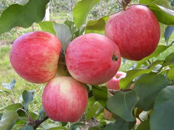 Описание яблони сорта - Штрейфлинг: характеристика, фото, отзывы