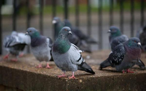 Как отвадить голубей от балкона? Чем балкон привлекает голубя