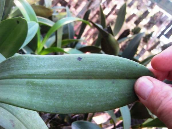 У орхидеи вялые листья: что делать, в чем причина