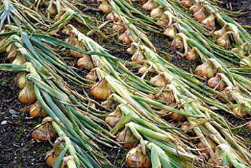 Лук Стурон: описание сорта, отзывы, особенности выращивания