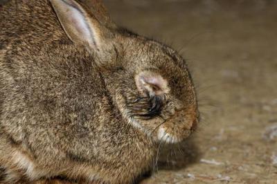 Миксоматоз у кроликов: можно ли есть мясо заболевшего животного