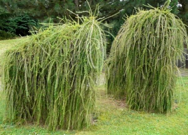 Какую лиственницу посадить в саду: выбор сорта