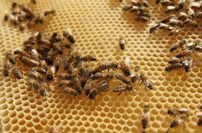 Вощина для пчел - это что такое
