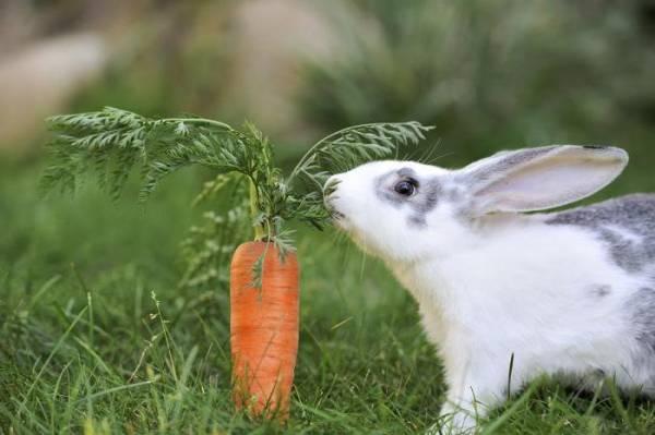 Декоративные кролики: содержание и уход