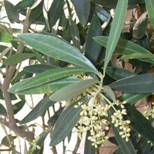 Комнатное растение олива в домашних условиях