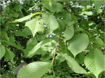 Дерево вяз: описание, виды, где растет