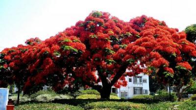 Делоникс королевский – дерево-пожар