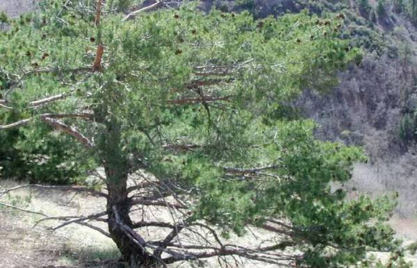 Хвойное дерево сосна обыкновенная