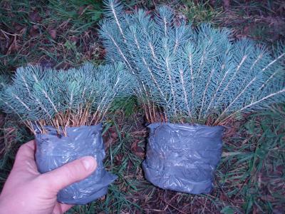 Как размножать голубую ель: особенности выращивания и ухода, советы и рекомендации