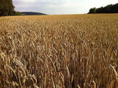 Какой должна быть норма высева пшеницы на 1 га
