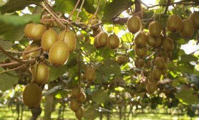 Как выращивать киви в домашних условиях? Размножение семенами