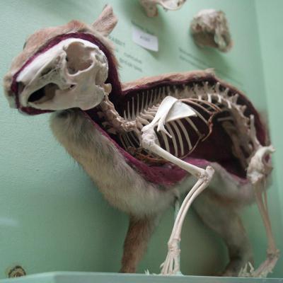 Анатомия кролика: строение скелета и внутренних органов, особенности физиологии, фото