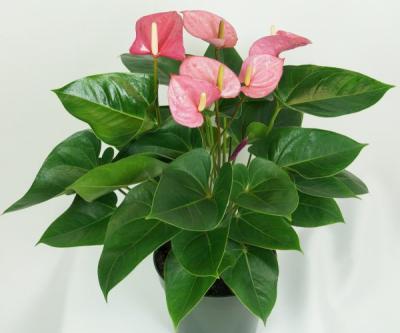 Цветок Мужское счастье: как пересаживать, как ухаживать, название цветка, описание с фото