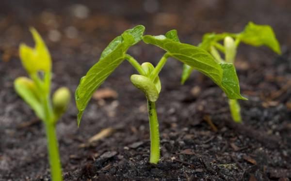 Секреты успешного выращивания бобов в открытом грунте