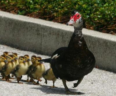 Вы знаете как быстро растут индоутки? Разведение и содержание птицы без особых хлопот