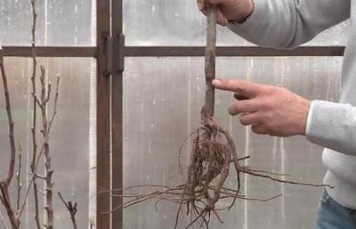 Яблоня Братчуд: описание сорта, основные характеристики, особенности выращивания, отзывы