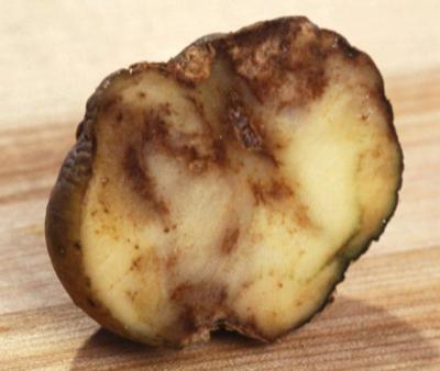 Как бороться с проволочником на картошке: лучшие средства и методы