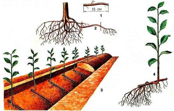 Размножение сливы корневой порослью