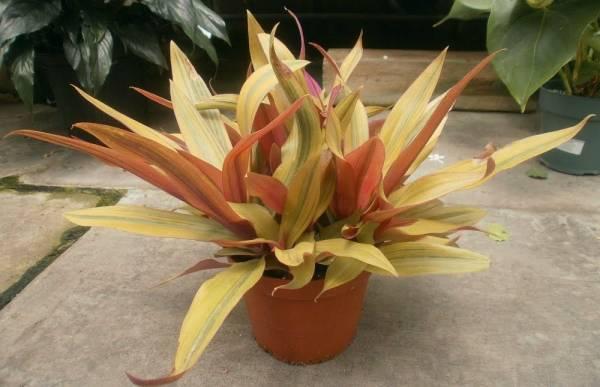Цветок - Рео: фото, польза и вред, уход в домашних условиях