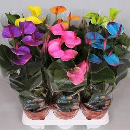 Цветок - Мужское счастье: как ухаживать чтобы он цвел