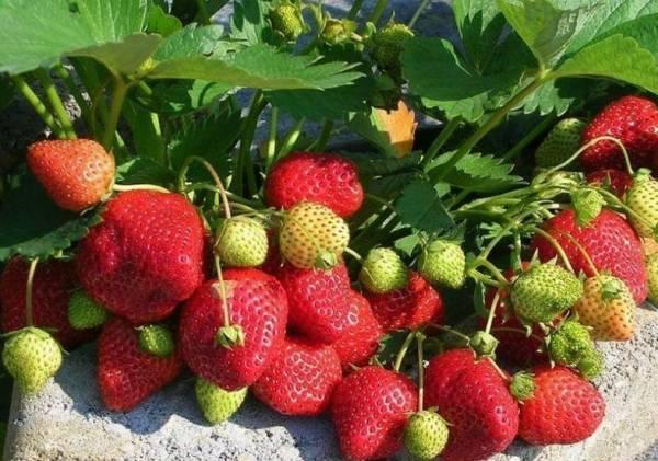 Как выращивать клубнику дома на подоконнике круглый год