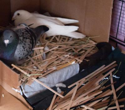 Гнезда для голубей: своими руками (фото)