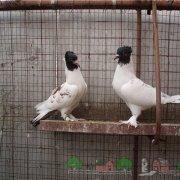Пакистанские бойные голуби – превосходные летуны с разнообразием окрасок