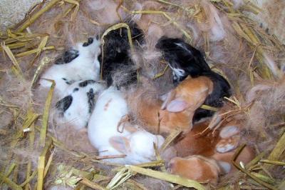 Искусственное осеменение кроликов: оборудование, технология, рентабельность