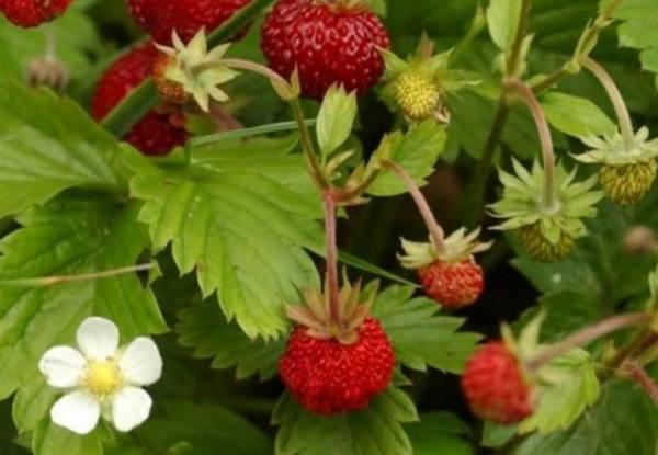 Чем полезна лесная клубника: описание, состав и применение лесной ягоды