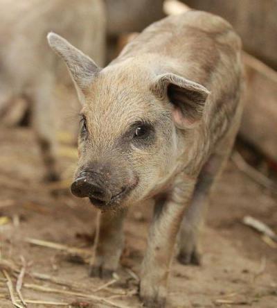 Вислобрюхая вьетнамская свинья: все о породе