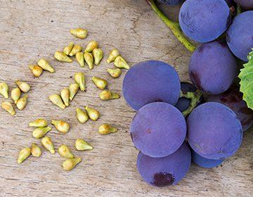 Полезные свойства виноградных косточек, и как приготовить из сырья экстракт и масло