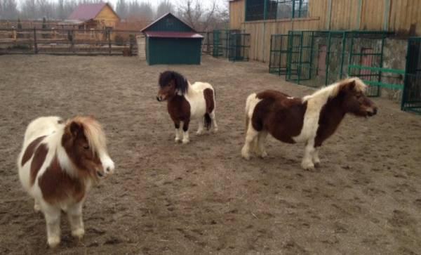 Пони: как ухаживать за маленькими лошадками