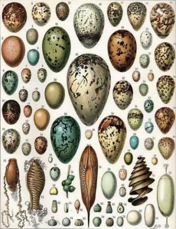 Строение яйца птицы: схема, особенности