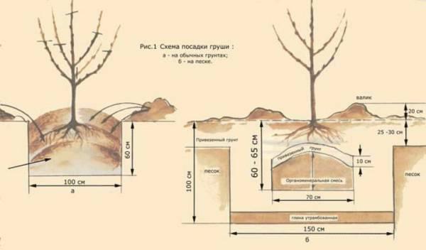 Посадка и уход за грушей Киргизская зимняя – фото и описание культуры