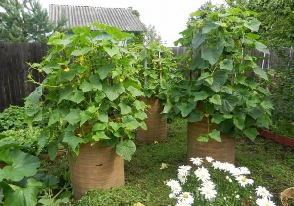 Выращивание огурцов в бочке: пошаговая инструкция видео и фото