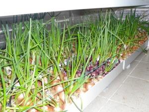 Лук на зелень: основные сорта и правила выращивания