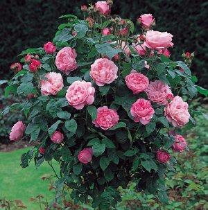 Особенности выращивания сорта роз «Мэри Роуз»