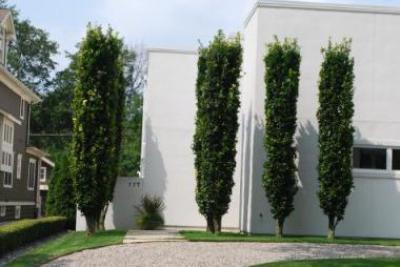 Колоновидные деревья: сорта, особенности ухода и отзывы