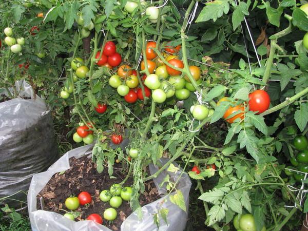 Характеристика и описание томата сорта - Спрут F1: выращивание в открытом грунте