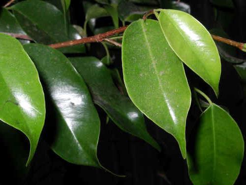 Фикус Бенджамина сбрасывает листья - в чем причина? Что делать, если у вашего фикуса опадают листья