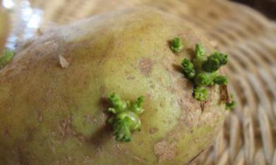 Можно ли есть зелёную картошку? Чем опасна зелёная картошка