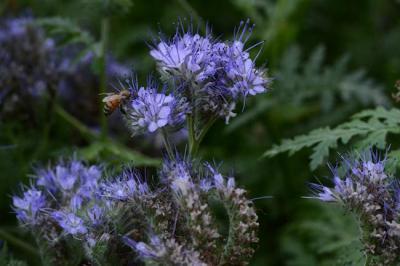 Фацелиевый мед: полезные свойства и противопоказания, фото