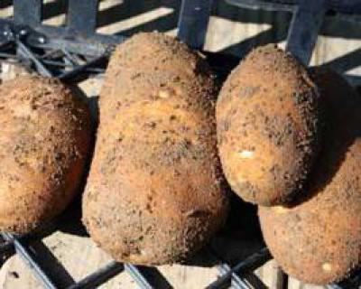 При какой температуре хранить картофель? Хранение картофеля в домашних условиях