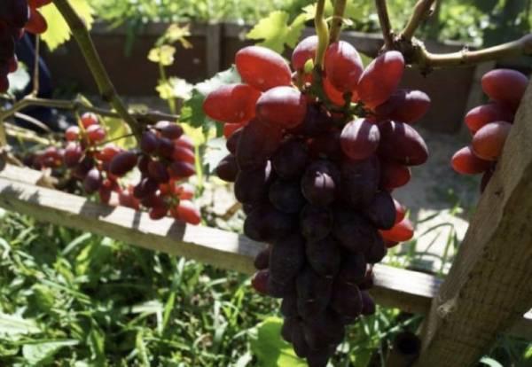 Виноград «Малиновый супер»: характеристика, достоинства и недостатки