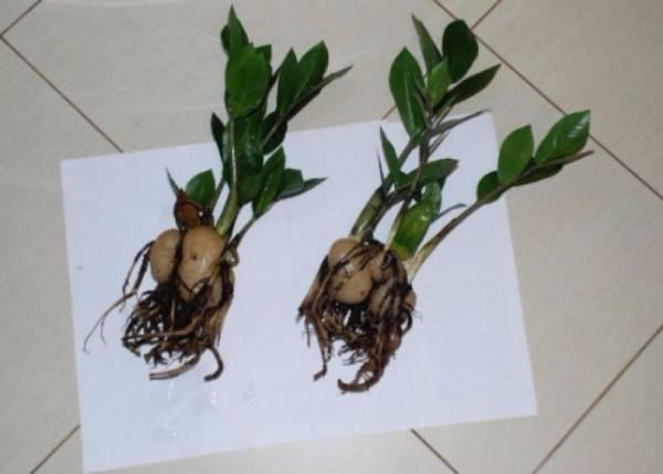 Как вырастить замиокулькас, посадка и уход за денежным деревом
