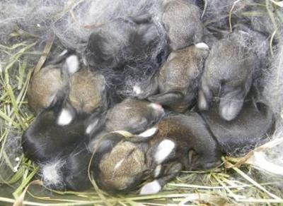 Спаривание кроликов: основные правила